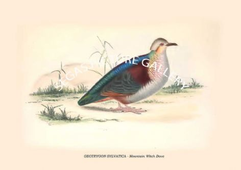 Fine art print of the GEOTRYGON SYLVATICA - Mountain Witch Dove by Philip Henry Goose (1849)